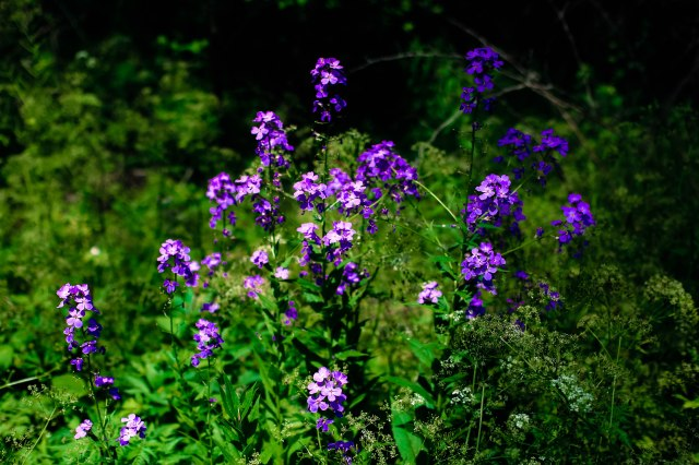 purple flowers, forest, nature